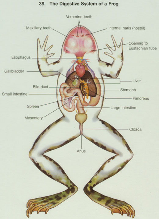 niscanthrockpi: diagram of circulatory system of frog