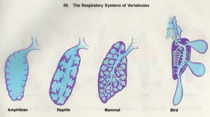 evolution of respiratory systems Organizational change: the evolution of respiratory therapy by: amanda, wendy & christa introduction respiratory therapy is an allied health profession that deals.